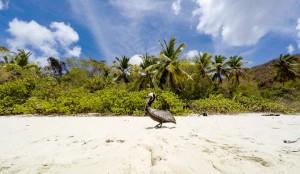 Pelican St John Trunk Bay USVI