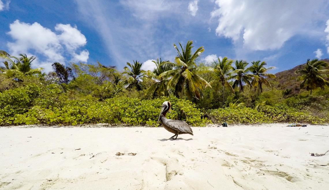 st-john-trunk-bay-pelican-usvi