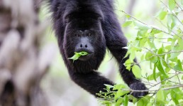 Chaa Creek Lodge Belize Howler Monkey