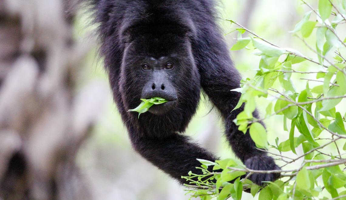 Chaa Creek Lodge Belize Howler Monkey