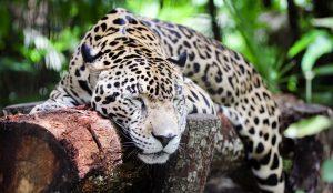 jaguar-belize-zoo