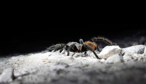 Mexican Tarantula Belize Cayo district