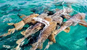 shark-ray-alley-Ambergris-caye-belize