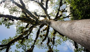 tikal-guatemala-tree