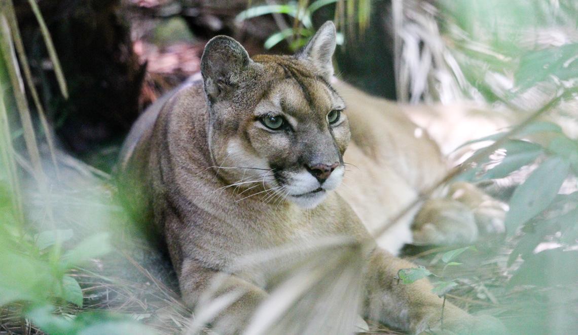 puma-belize-zoo