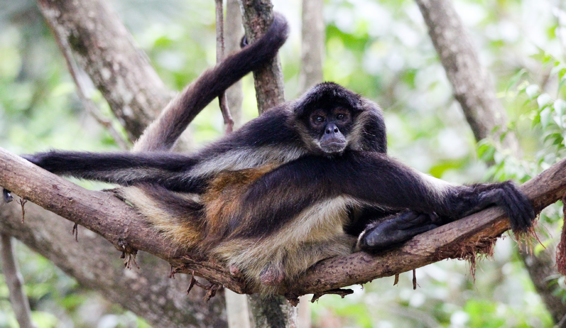 spider-monkey-belize-zoo