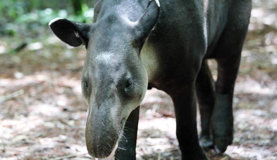 tapir-belize-zoo