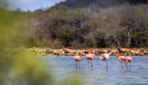 Flamingo spotting in Willibrordus Curacao