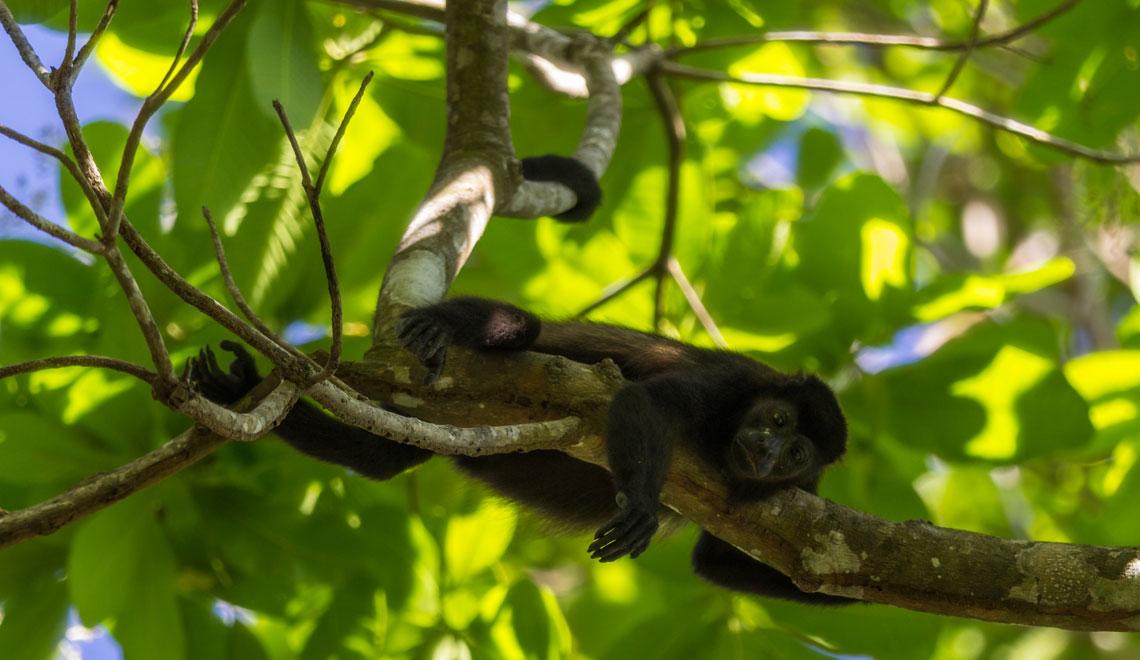 Howler Monkey Santa Teresa Nicoya Peninsula