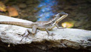 Jesus Lizard Costa Rica in Curu Wildlife Reserve