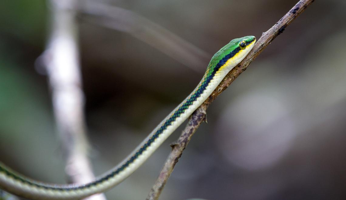 Snake in Curu Wildlife Reserve Nicoya Peninsula