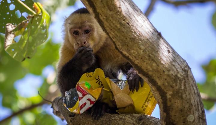 Stealing monkey in Montezuma Costa Rica