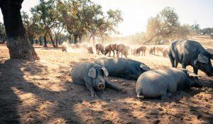 Black Pork Portugal: Porco Preto